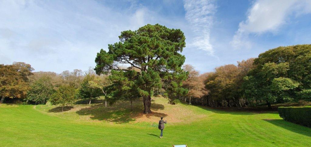 A big tree - a very big tree