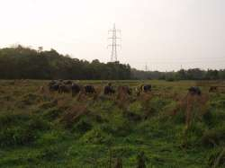 Buffaloes in the field